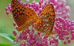 哺养在桃红色乳草的两只伟大的闪烁的贝母蝴蝶 图库摄影