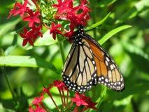 哺养在桃红色乳草花的黑脉金斑蝶 库存图片
