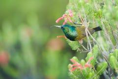 哺养在桌山南非的Sunbird 库存图片