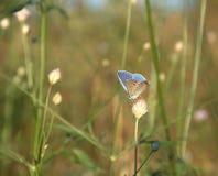 哺养在植物的蝴蝶 库存图片