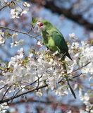 哺养在樱花的圆环收缩的长尾小鹦鹉 免版税库存照片