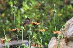 哺养在橙色花的好的蜂鸟 免版税图库摄影