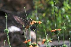 哺养在橙色花的好的蜂鸟 免版税库存照片