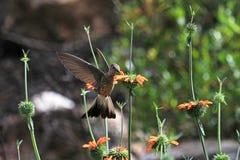 哺养在橙色花的好的蜂鸟 库存照片
