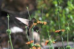 哺养在橙色花的好的蜂鸟 免版税库存图片