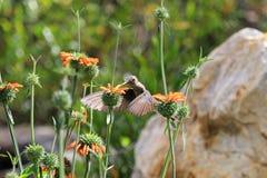 哺养在橙色花的好的蜂鸟 库存图片