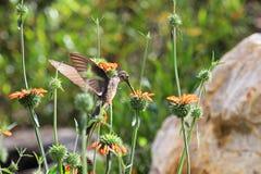 哺养在橙色花的好的蜂鸟 图库摄影