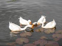 哺养在池塘的四只鸭子 免版税库存照片