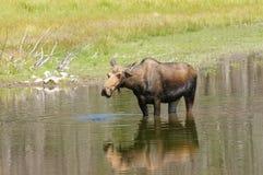 哺养在池塘的麋 免版税库存图片