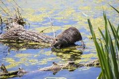 哺养在河植物词根的巨水鼠 免版税库存图片