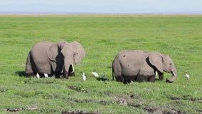 哺养在沼泽地的四头非洲大象在一天 股票视频