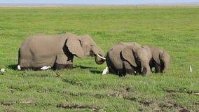 哺养在沼泽的小组非洲大象与苍鹭和其他鸟一起 股票录像