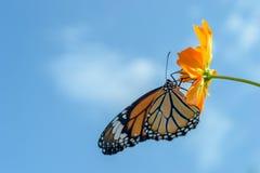 哺养在波斯菊的美丽的黑脉金斑蝶开花反对蓝天 免版税图库摄影