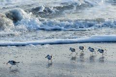 哺养在海岸线的三趾滨鹬 免版税库存照片