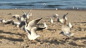 哺养在海滩的海鸥 股票视频