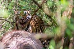 哺养在牺牲者的孟加拉老虎 免版税库存图片
