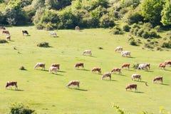 哺养在生态草甸的母牛在罗马尼亚 免版税图库摄影