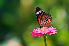 哺养在百日菊属花的黑脉金斑蝶 免版税库存照片