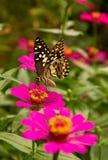 哺养在百日菊属花的蝴蝶 免版税库存照片
