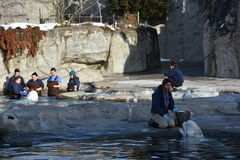 哺养在神秘的水族馆的白海豚鲸鱼在康涅狄格 库存照片