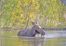哺养在秋天的池塘植被的母麋 免版税图库摄影