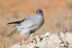 哺养在红色沙子的苍白歌颂苍鹰 免版税库存照片
