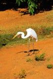 哺养在腐尸,西澳州的东部伟大的白鹭 免版税库存图片