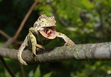 哺养在臭虫的变色蜥蜴 免版税库存照片