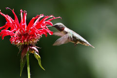 哺养在花的公蜂鸟 免版税库存照片