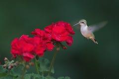 哺养在花的红宝石红喉刺莺的蜂鸟 免版税库存图片