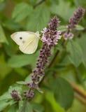 哺养在花蜜的被覆盖的阿波罗 库存照片