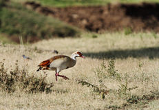 哺养在草原的一只美丽的埃及鹅 库存照片