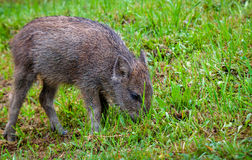 哺养在草甸的公猪崽 免版税库存图片