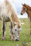 哺养在草的白马有另一棕色马背景 库存照片