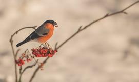 哺养在莓果的公红腹灰雀 免版税库存照片