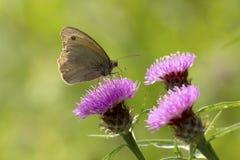 哺养在蓟花的布朗草甸 免版税图库摄影
