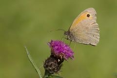 哺养在蓟花的布朗草甸 图库摄影