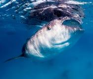 哺养在表面附近的大鲸鲨 免版税库存照片