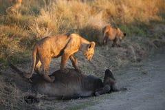 哺养在角马尸体的幼狮 免版税图库摄影