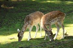 哺养在阳光下的幼小鹿在Castle Country Park, Kilmarnock教务长 库存图片