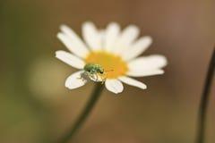 哺养在雏菊 免版税图库摄影