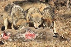 哺养在鹿尸体的三头狼 免版税库存图片