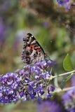 俏丽的蝴蝶 图库摄影