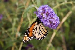 俏丽的蝴蝶 库存图片