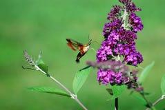哺养在蝴蝶灌木丛的蜂鸟飞蛾 免版税库存图片