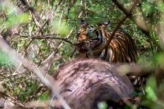 哺养在gaur的孟加拉老虎 图库摄影