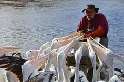 哺养在Kingscote的每日鹈鹕 免版税库存图片