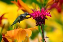 哺养在monarda的蜂鸟 免版税库存照片