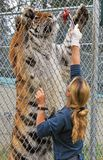 哺养孟加拉老虎 免版税库存照片