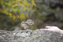 哺养从手的花栗鼠 库存照片
